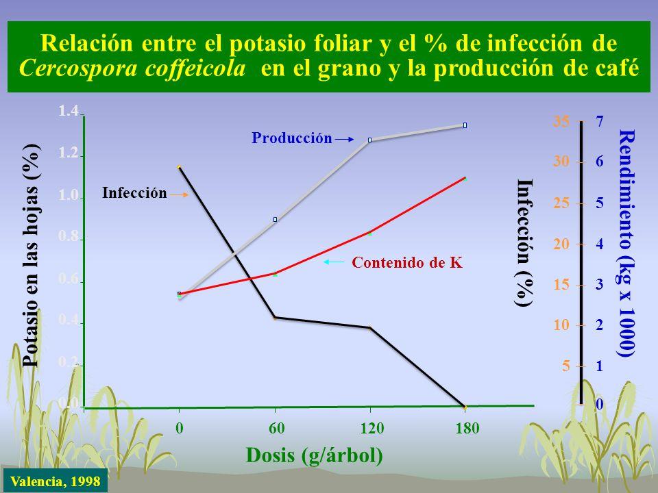 Relación entre el potasio foliar y el % de infección de Cercospora coffeicola en el grano y la producción de café