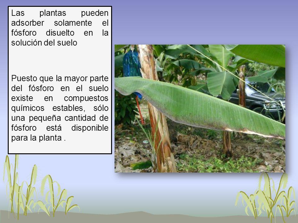 Las plantas pueden adsorber solamente el fósforo disuelto en la solución del suelo Puesto que la mayor parte del fósforo en el suelo existe en compuestos químicos estables, sólo una pequeña cantidad de fósforo está disponible para la planta .