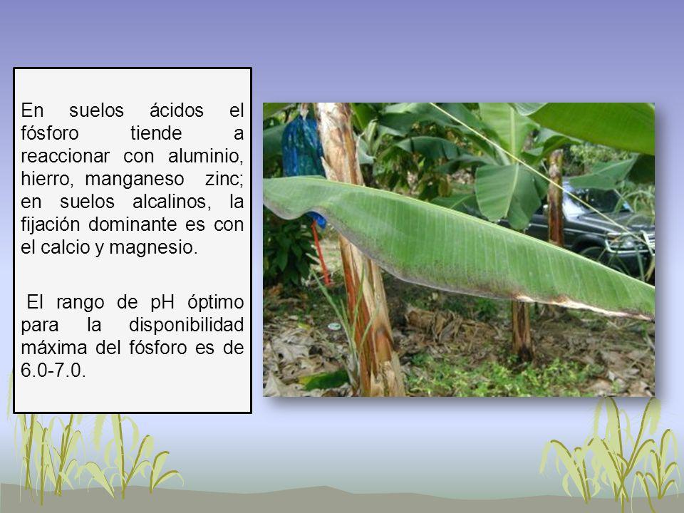 En suelos ácidos el fósforo tiende a reaccionar con aluminio, hierro, manganeso zinc; en suelos alcalinos, la fijación dominante es con el calcio y magnesio.