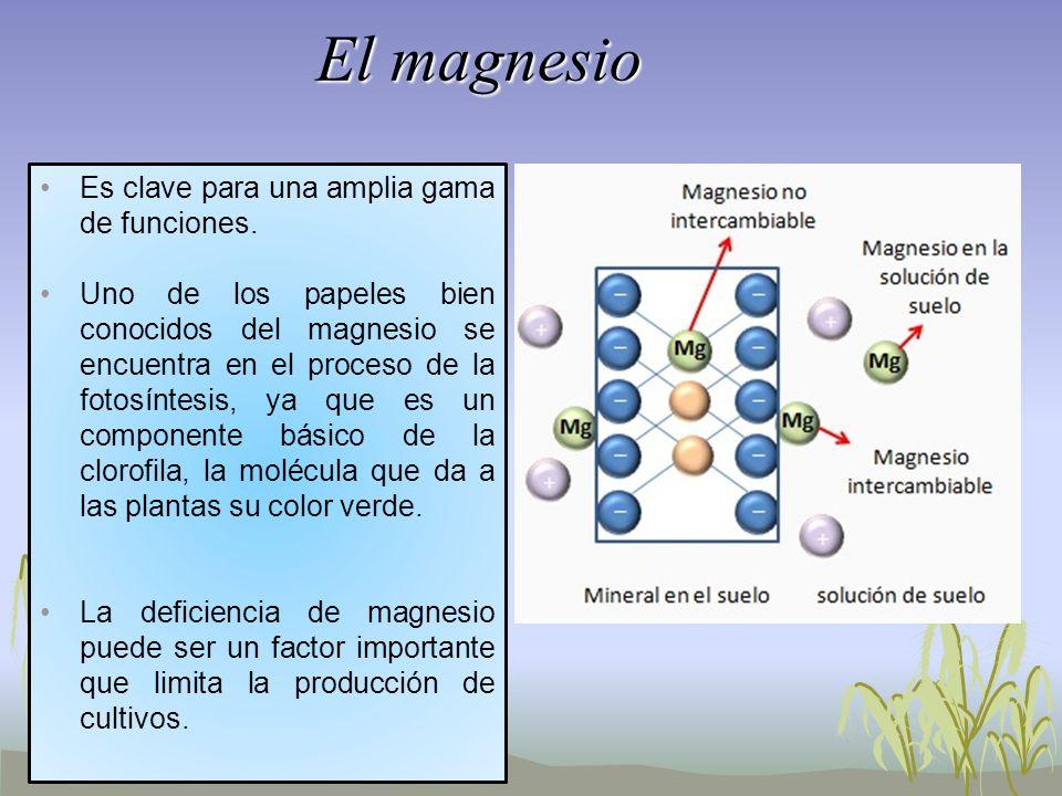 El magnesio Es clave para una amplia gama de funciones.