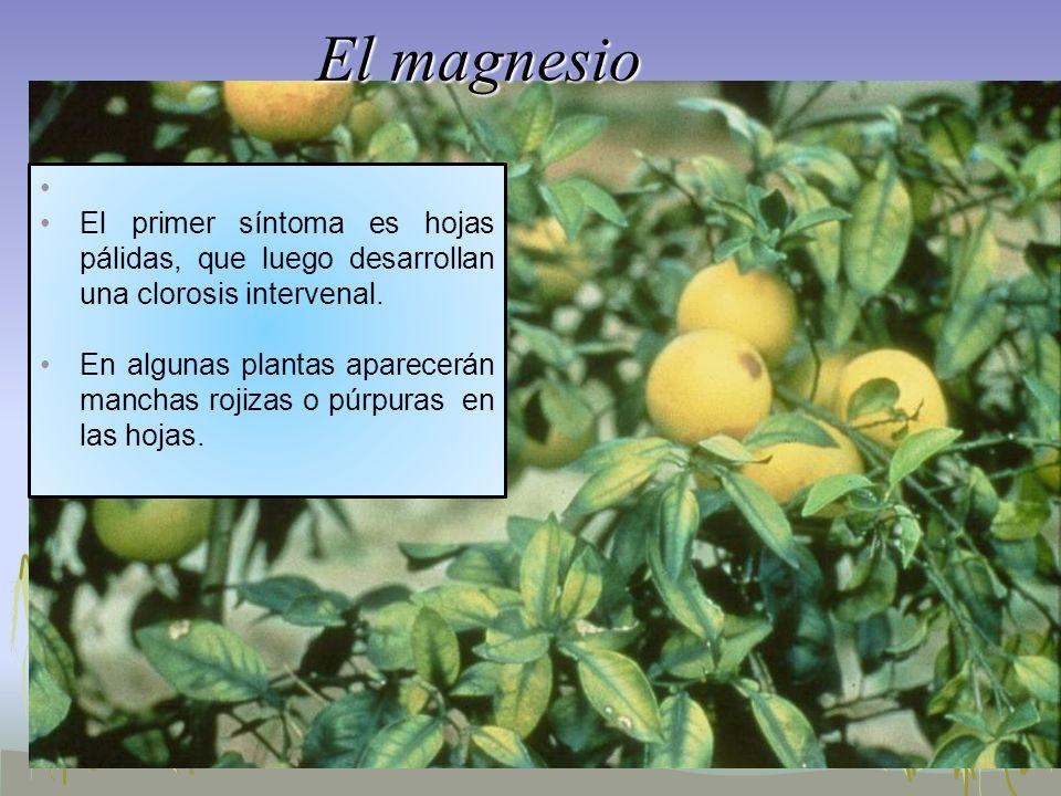 El magnesio El primer síntoma es hojas pálidas, que luego desarrollan una clorosis intervenal.