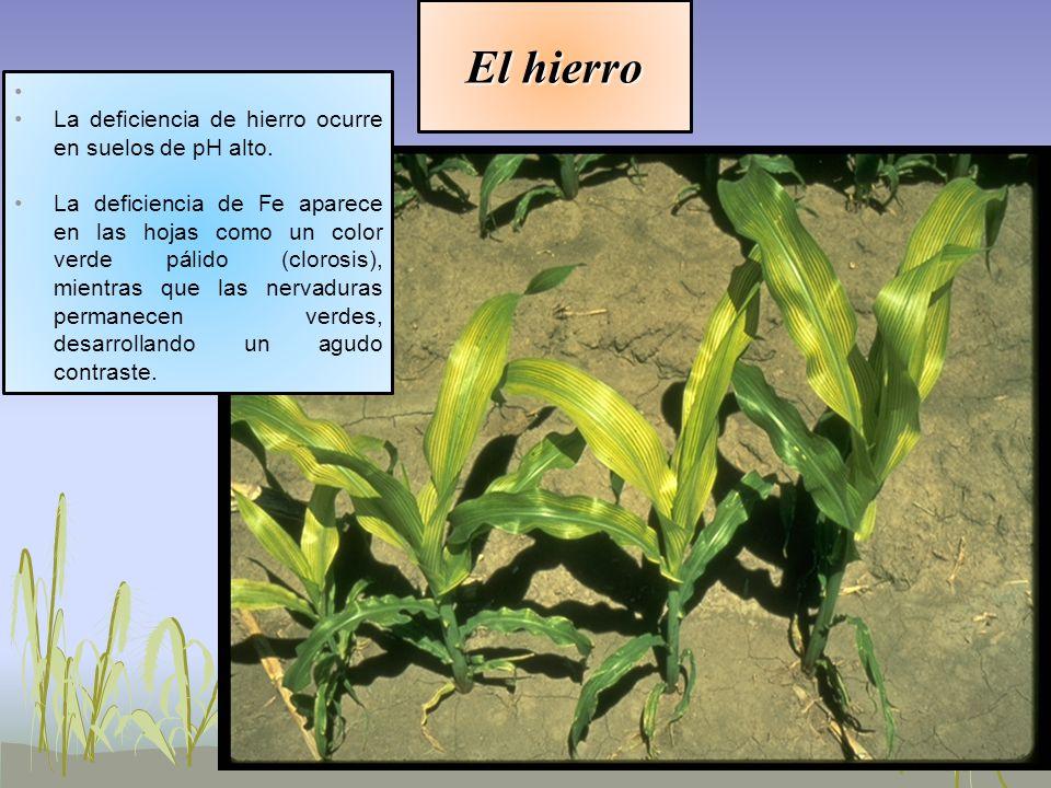 El hierro La deficiencia de hierro ocurre en suelos de pH alto.