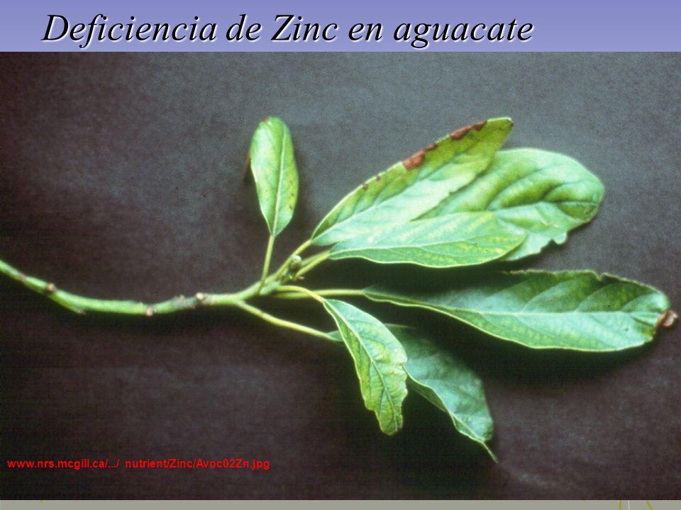 Deficiencia de Zinc en aguacate