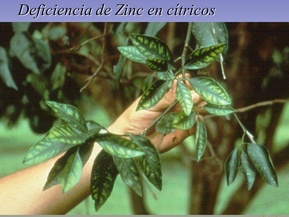 Deficiencia de Zinc en cítricos