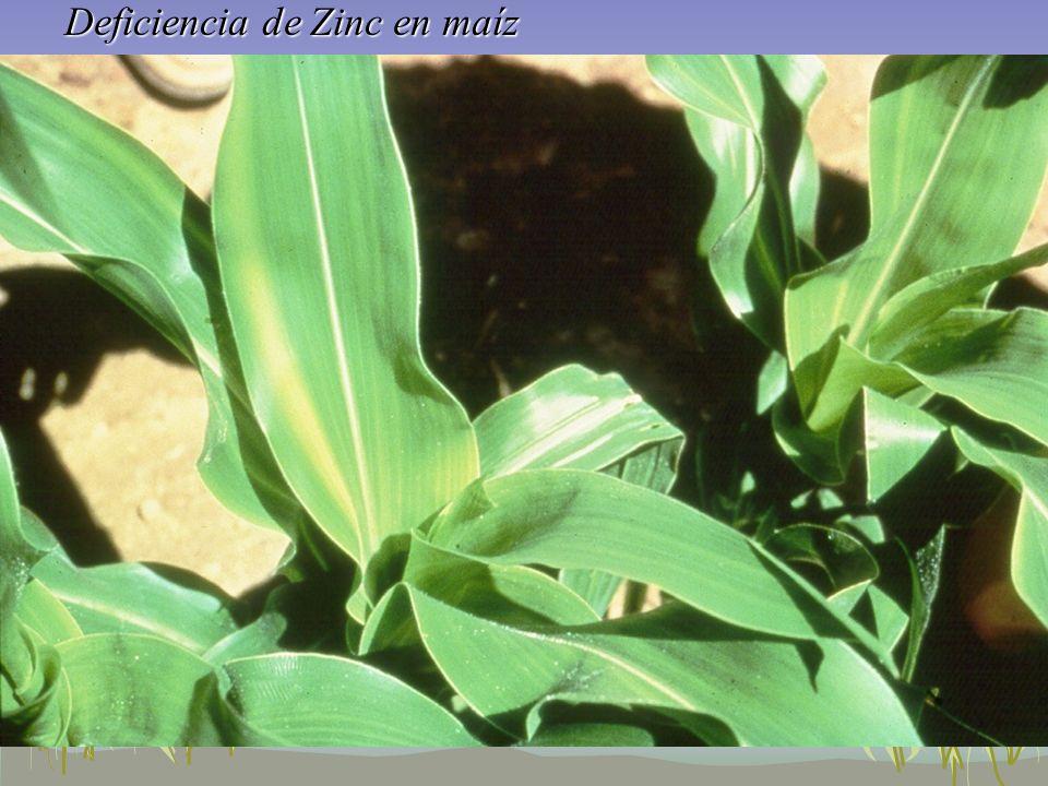 Deficiencia de Zinc en maíz