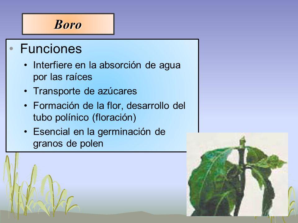 Boro Funciones Interfiere en la absorción de agua por las raíces