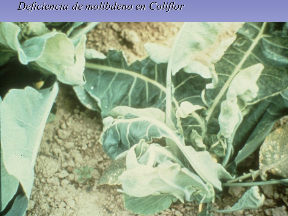 Deficiencia de molibdeno en Coliflor