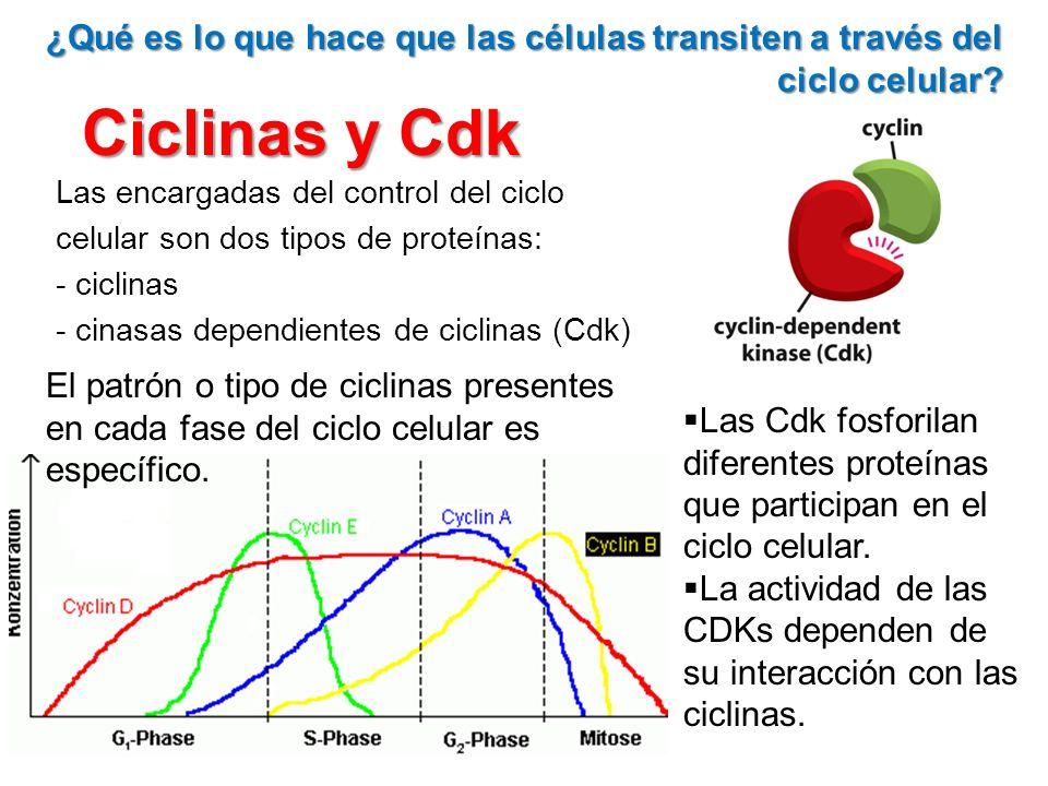 ¿Qué es lo que hace que las células transiten a través del ciclo celular