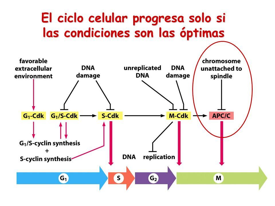 El ciclo celular progresa solo si las condiciones son las óptimas