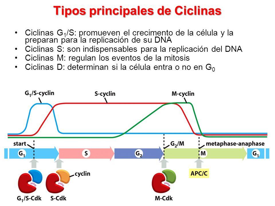 Tipos principales de Ciclinas