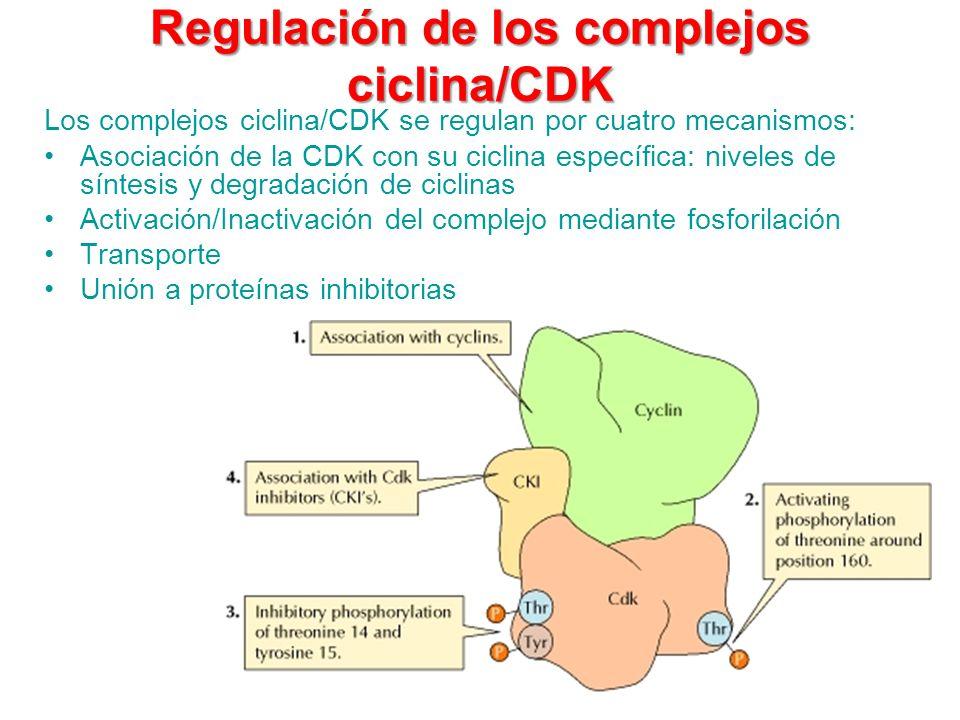 Regulación de los complejos ciclina/CDK
