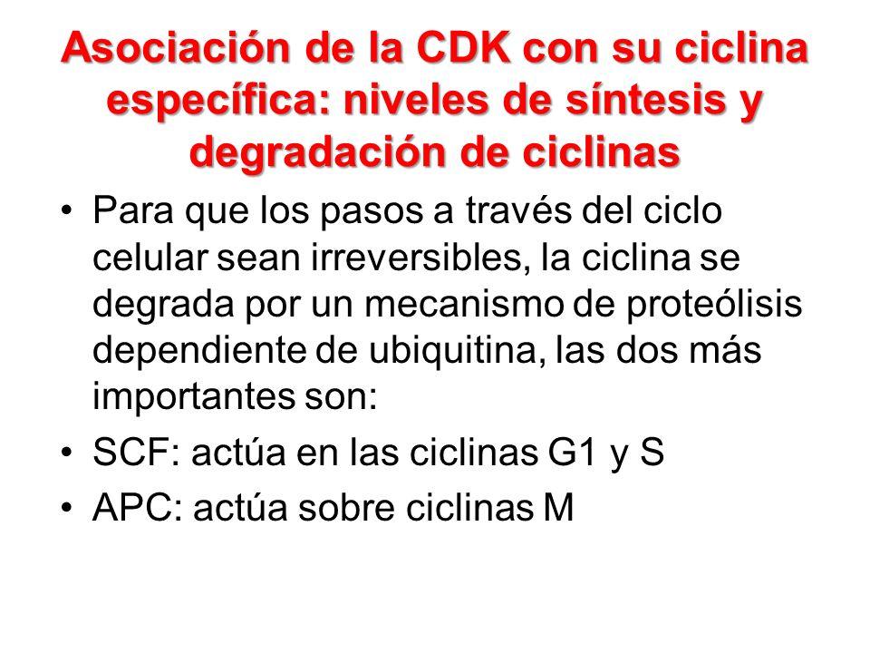 Asociación de la CDK con su ciclina específica: niveles de síntesis y degradación de ciclinas