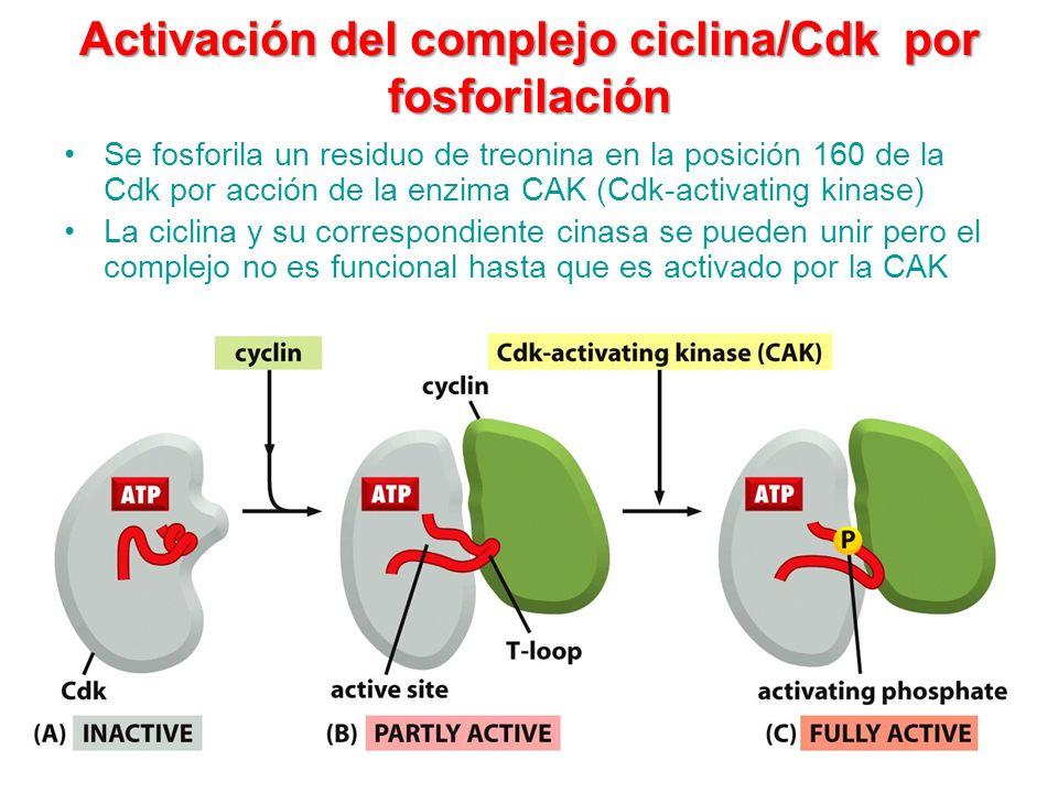 Activación del complejo ciclina/Cdk por fosforilación