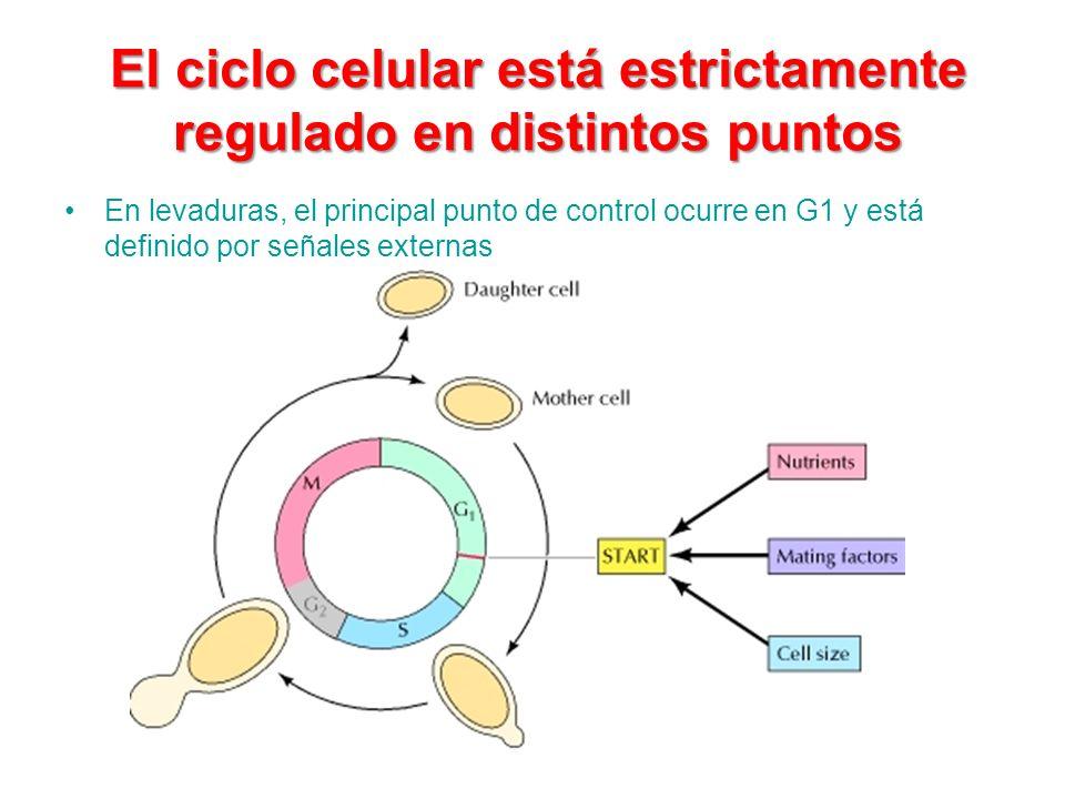 El ciclo celular está estrictamente regulado en distintos puntos