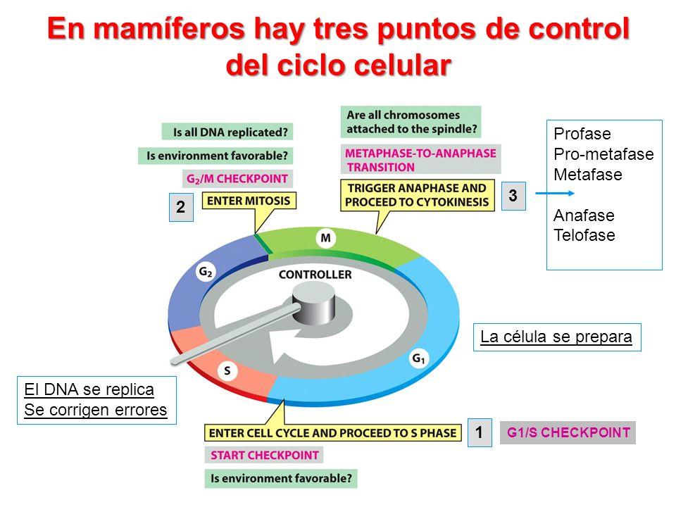 En mamíferos hay tres puntos de control del ciclo celular