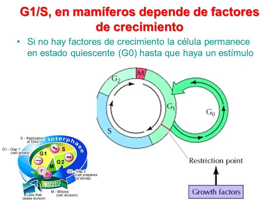 G1/S, en mamíferos depende de factores de crecimiento