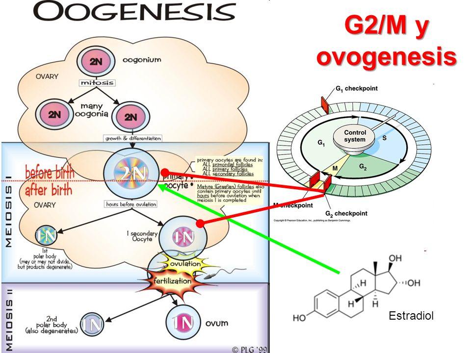 G2/M y ovogenesis Estradiol