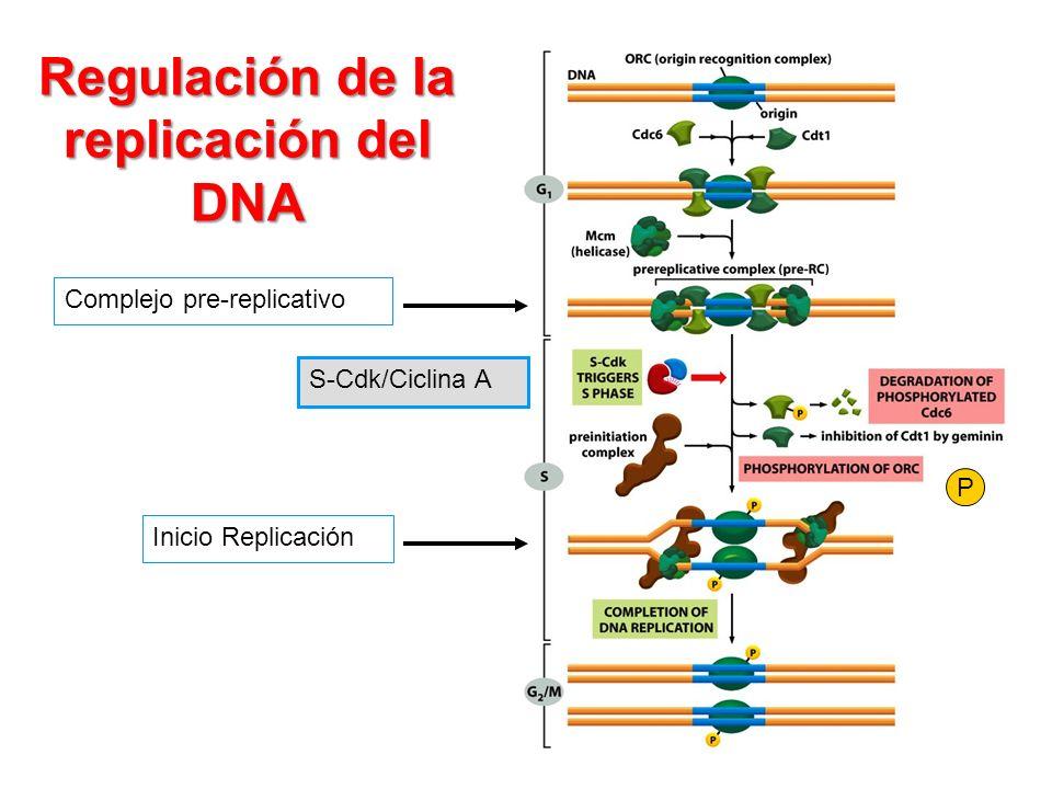 Regulación de la replicación del DNA