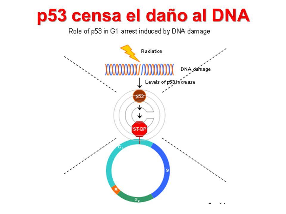 p53 censa el daño al DNA