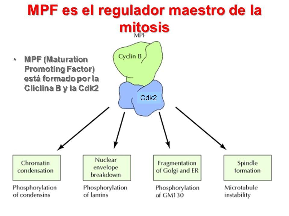MPF es el regulador maestro de la mitosis