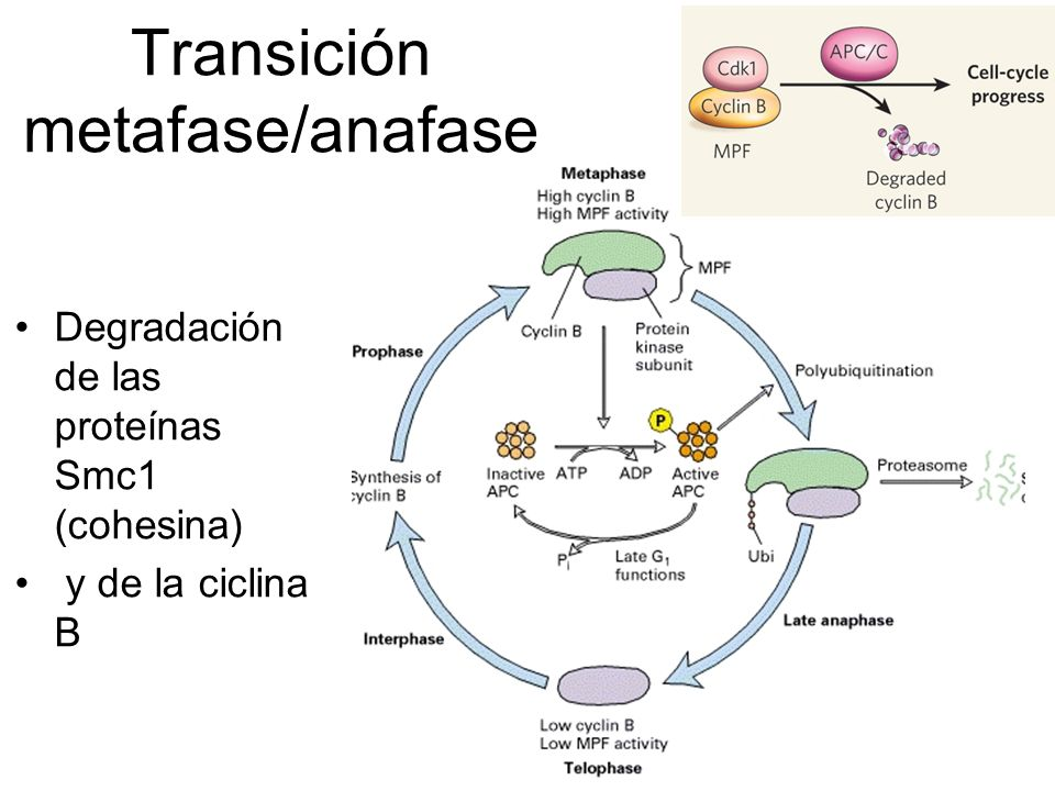 Transición metafase/anafase