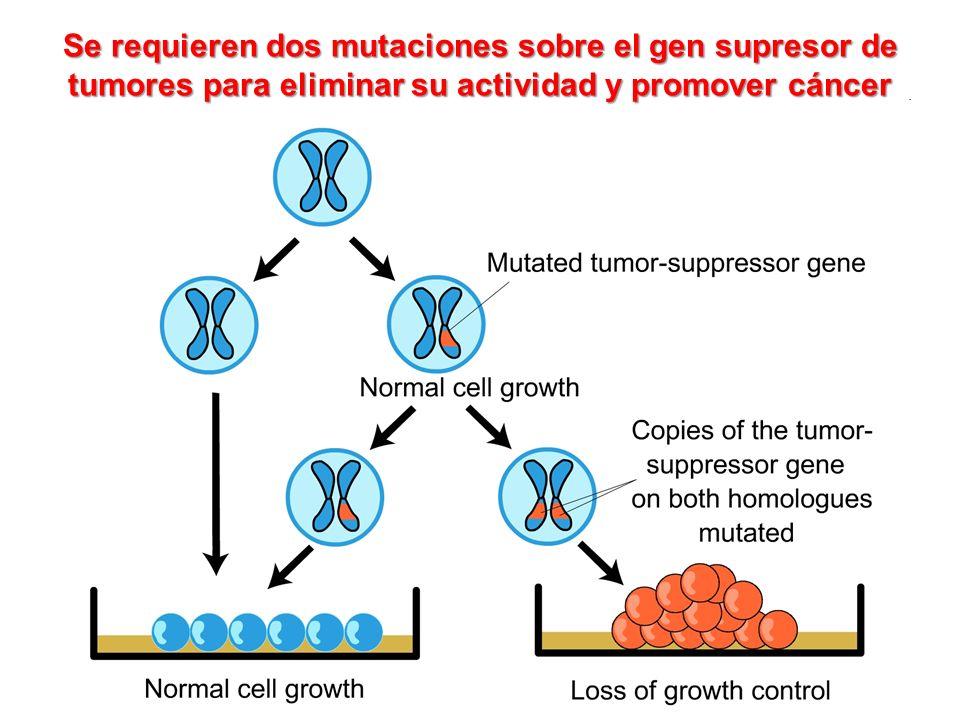 Se requieren dos mutaciones sobre el gen supresor de tumores para eliminar su actividad y promover cáncer