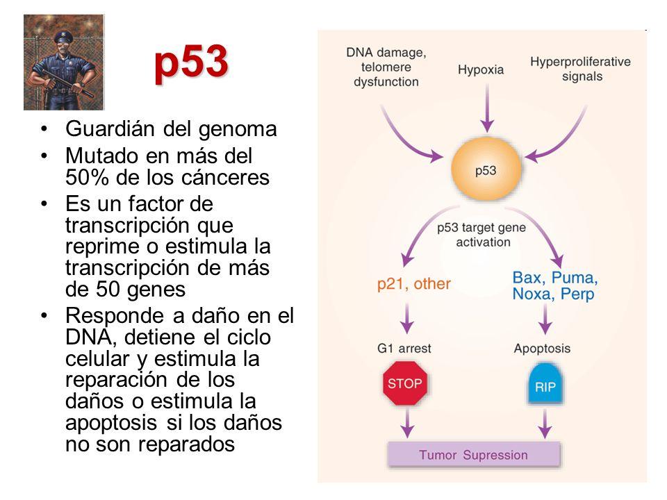 p53 Guardián del genoma Mutado en más del 50% de los cánceres