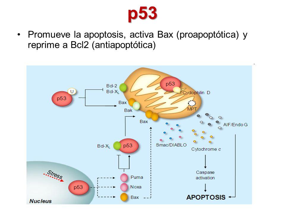 p53 Promueve la apoptosis, activa Bax (proapoptótica) y reprime a Bcl2 (antiapoptótica)