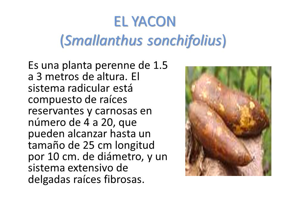EL YACON (Smallanthus sonchifolius)
