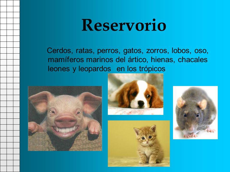 Reservorio Cerdos, ratas, perros, gatos, zorros, lobos, oso, mamíferos marinos del ártico, hienas, chacales leones y leopardos en los trópicos.