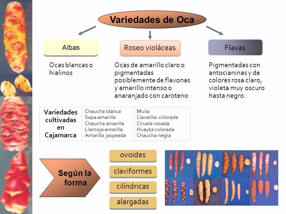 Variedades cultivadas en Cajamarca