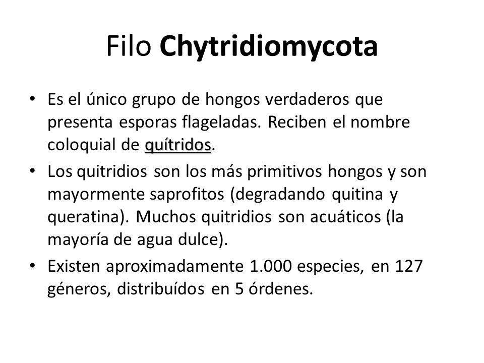 Filo Chytridiomycota Es el único grupo de hongos verdaderos que presenta esporas flageladas. Reciben el nombre coloquial de quítridos.