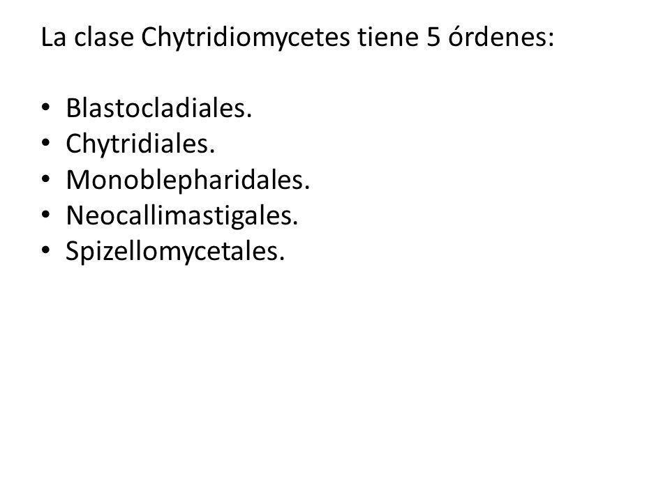 La clase Chytridiomycetes tiene 5 órdenes: