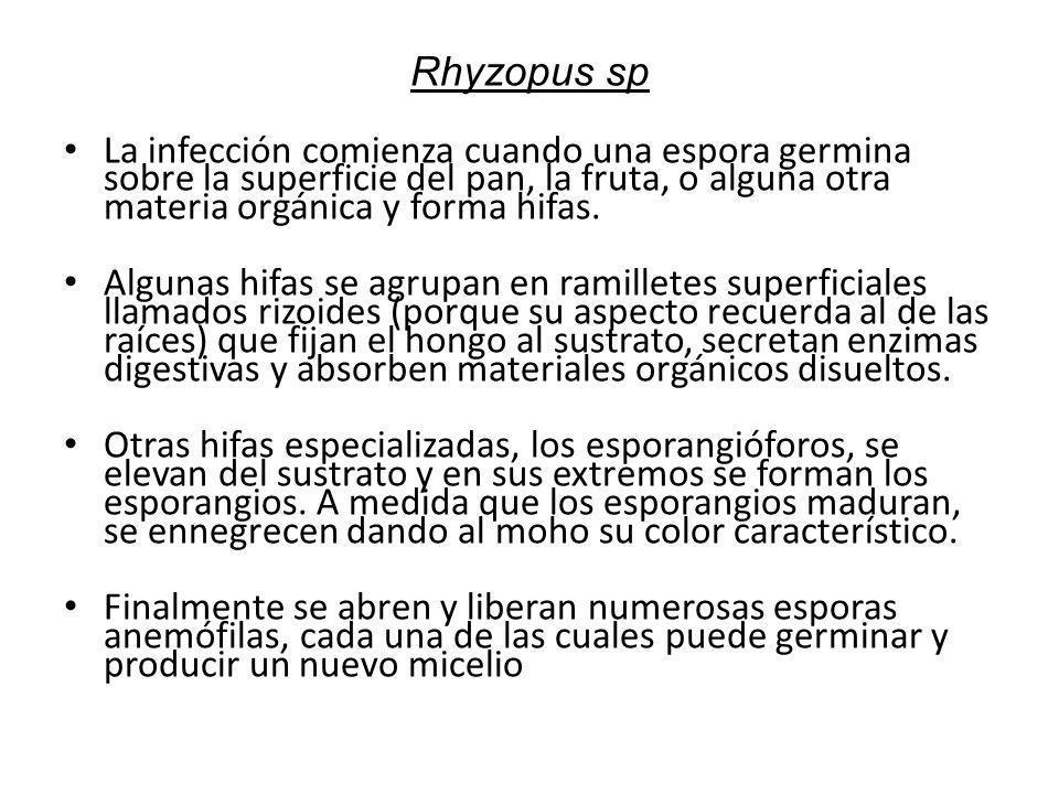 Rhyzopus sp La infección comienza cuando una espora germina sobre la superficie del pan, la fruta, o alguna otra materia orgánica y forma hifas.