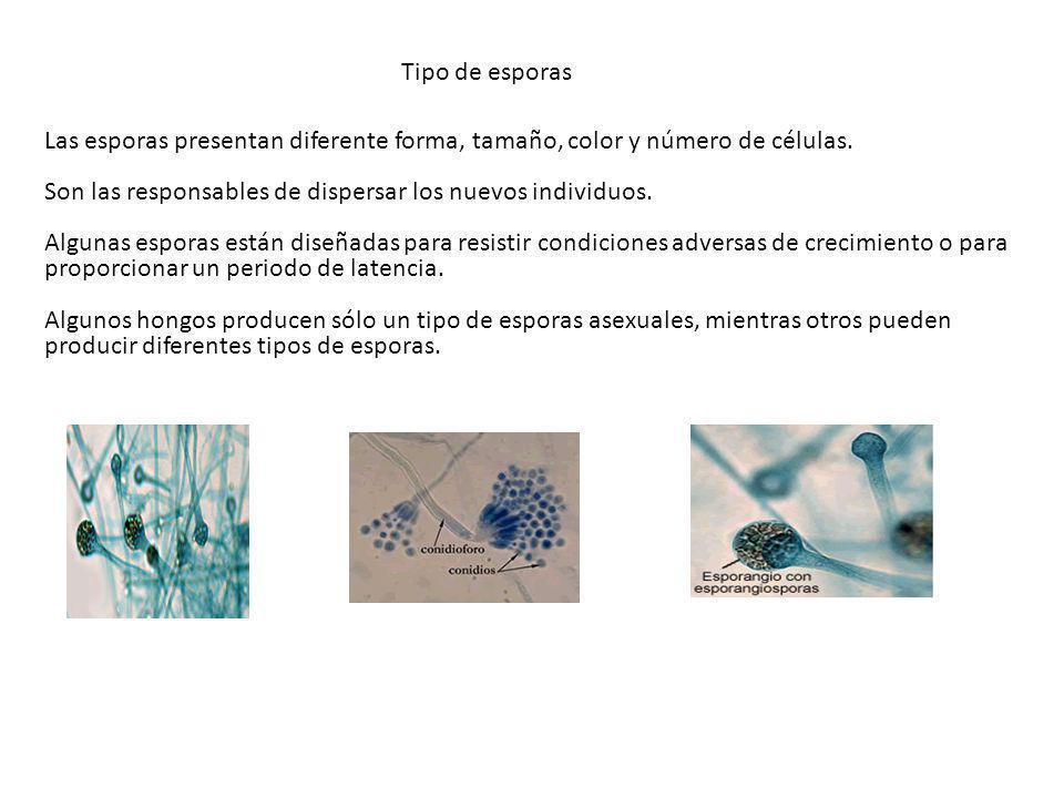 Tipo de esporas Las esporas presentan diferente forma, tamaño, color y número de células. Son las responsables de dispersar los nuevos individuos.