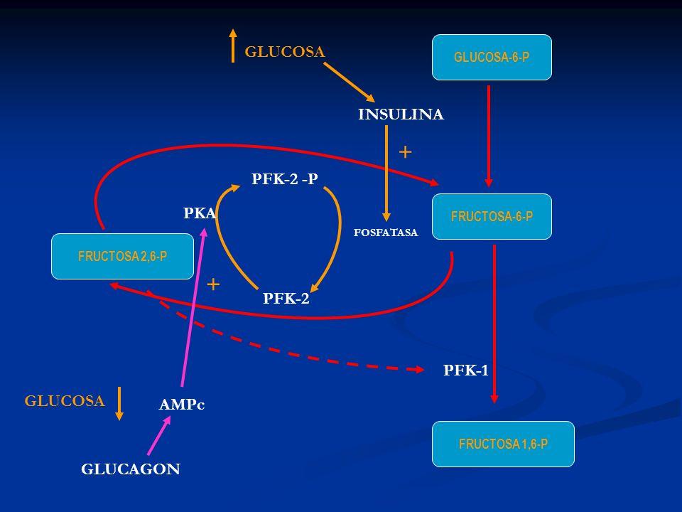 + + GLUCOSA INSULINA PFK-2 -P PKA PFK-2 PFK-1 GLUCOSA AMPc GLUCAGON