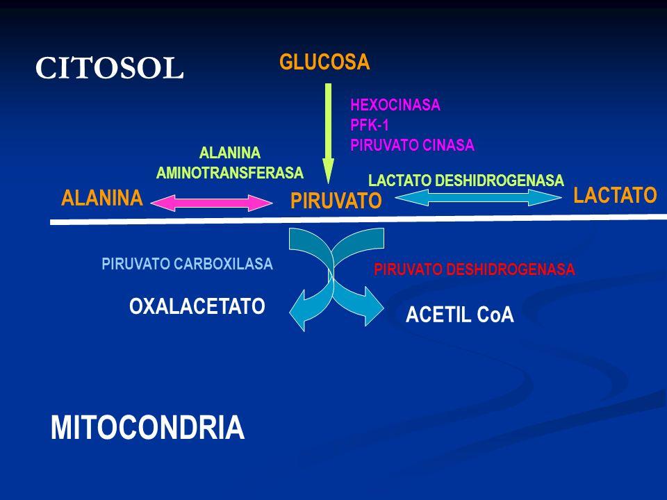 CITOSOL MITOCONDRIA GLUCOSA LACTATO ALANINA PIRUVATO OXALACETATO