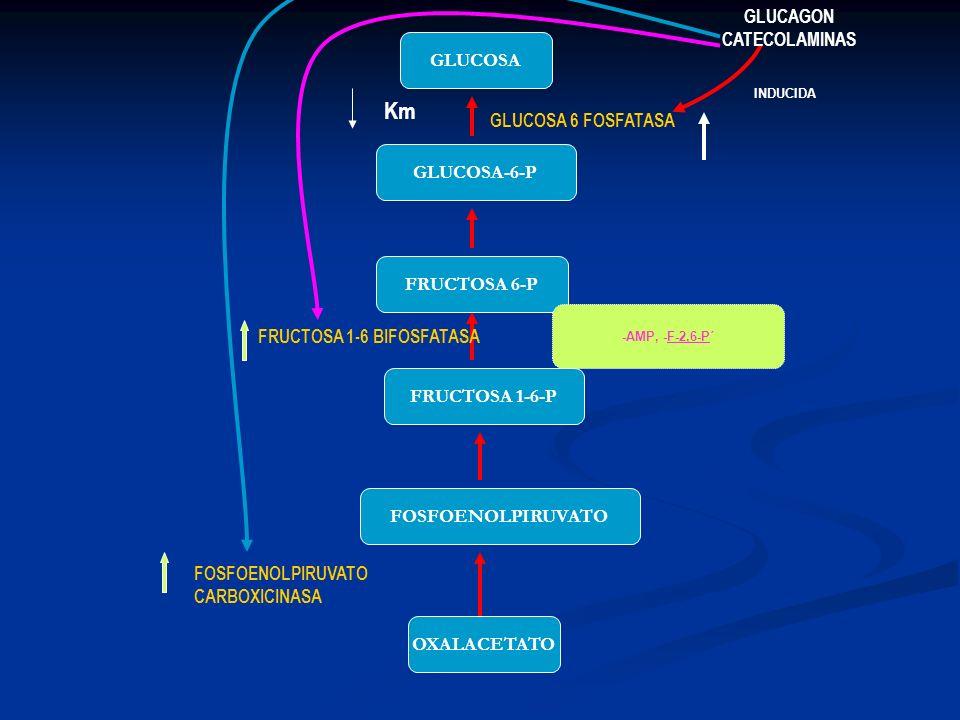 Km GLUCAGON CATECOLAMINAS GLUCOSA GLUCOSA 6 FOSFATASA GLUCOSA-6-P