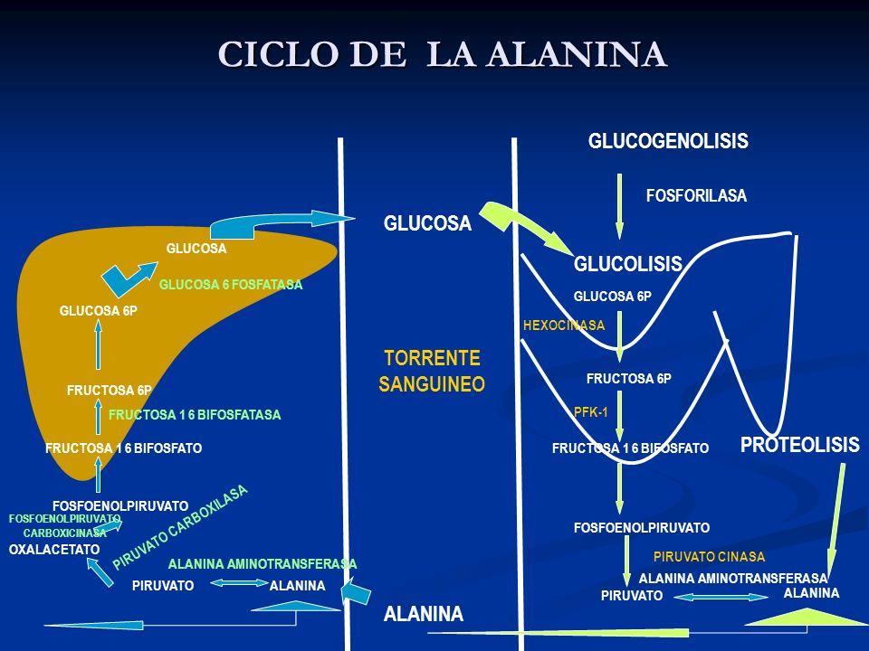 CICLO DE LA ALANINA GLUCOGENOLISIS GLUCOSA GLUCOLISIS TORRENTE