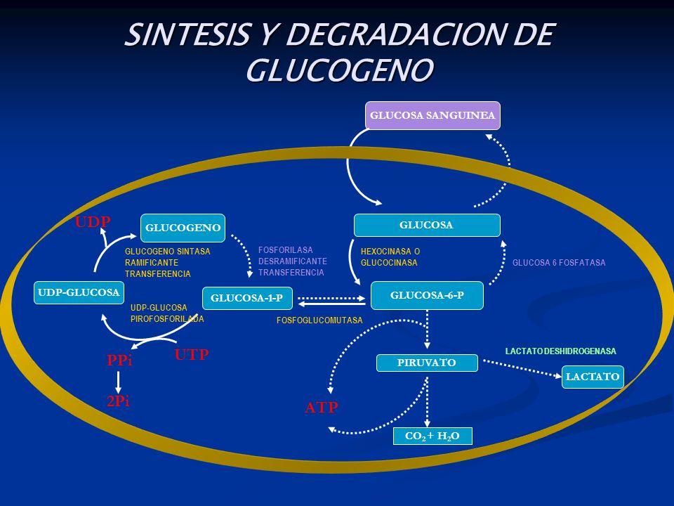 SINTESIS Y DEGRADACION DE GLUCOGENO