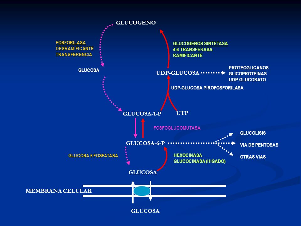 GLUCOGENO UDP-GLUCOSA GLUCOSA-1-P UTP GLUCOSA-6-P GLUCOSA