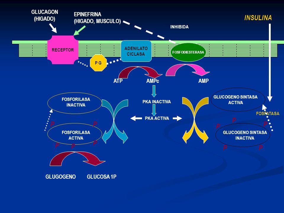 INSULINA P GLUCAGON (HIGADO) EPINEFRINA (HIGADO, MUSCULO) ATP AMPc AMP