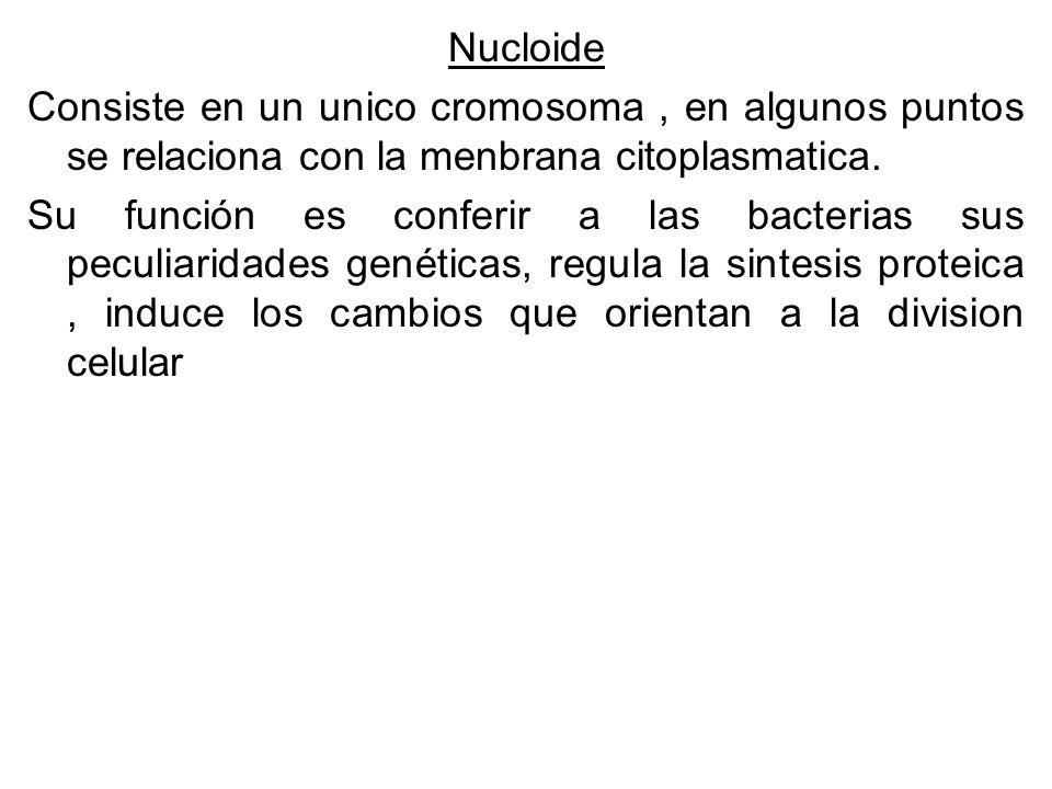 Nucloide Consiste en un unico cromosoma , en algunos puntos se relaciona con la menbrana citoplasmatica.