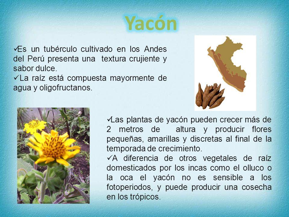 YacónEs un tubérculo cultivado en los Andes del Perú presenta una textura crujiente y sabor dulce.