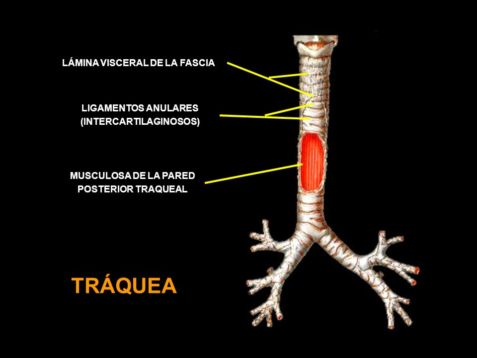LÁMINA VISCERAL DE LA FASCIA (INTERCARTILAGINOSOS)