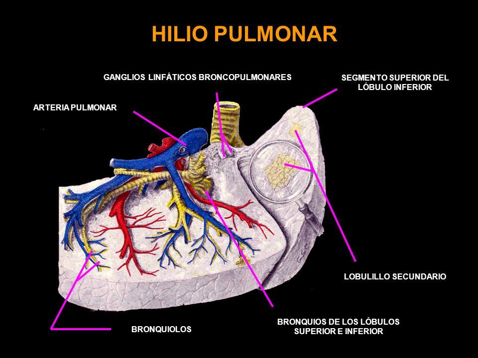 HILIO PULMONAR GANGLIOS LINFÁTICOS BRONCOPULMONARES