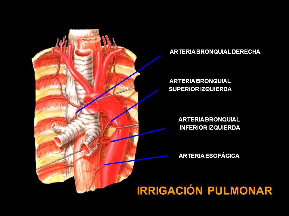 ARTERIA BRONQUIAL DERECHA
