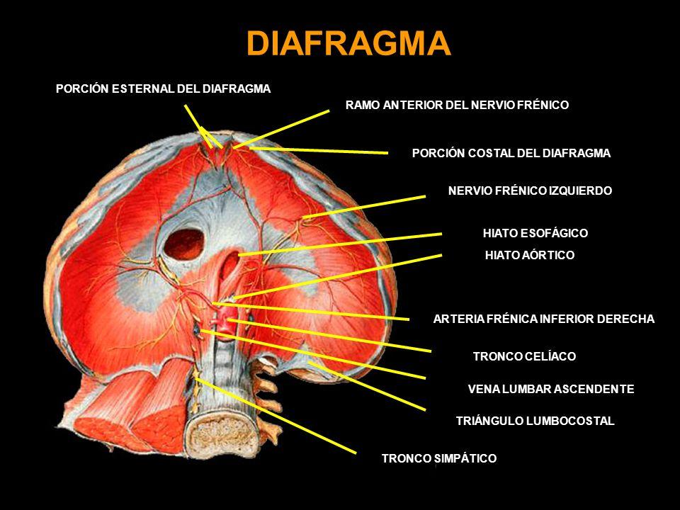 DIAFRAGMA PORCIÓN ESTERNAL DEL DIAFRAGMA