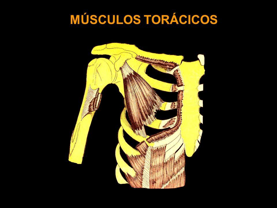 MÚSCULOS TORÁCICOS