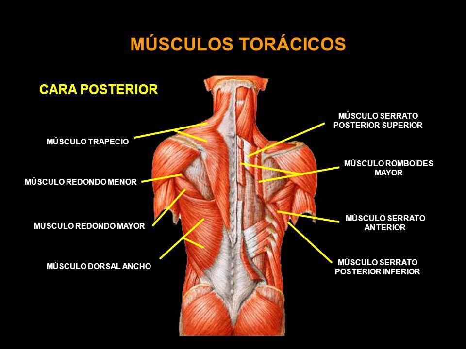 ACROMION MÚSCULOS TORÁCICOS CARA POSTERIOR